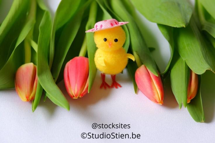 Rode tulpen speelgoed kuiken  Red tulips chicken
