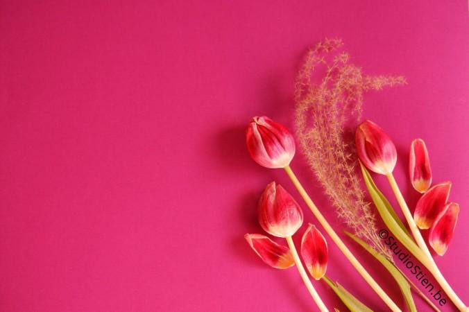 red tullips rode tulpen roze achtergrond