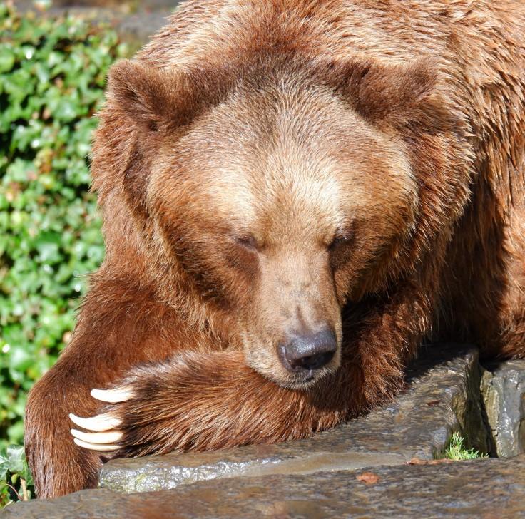 Dierenfotografie beer