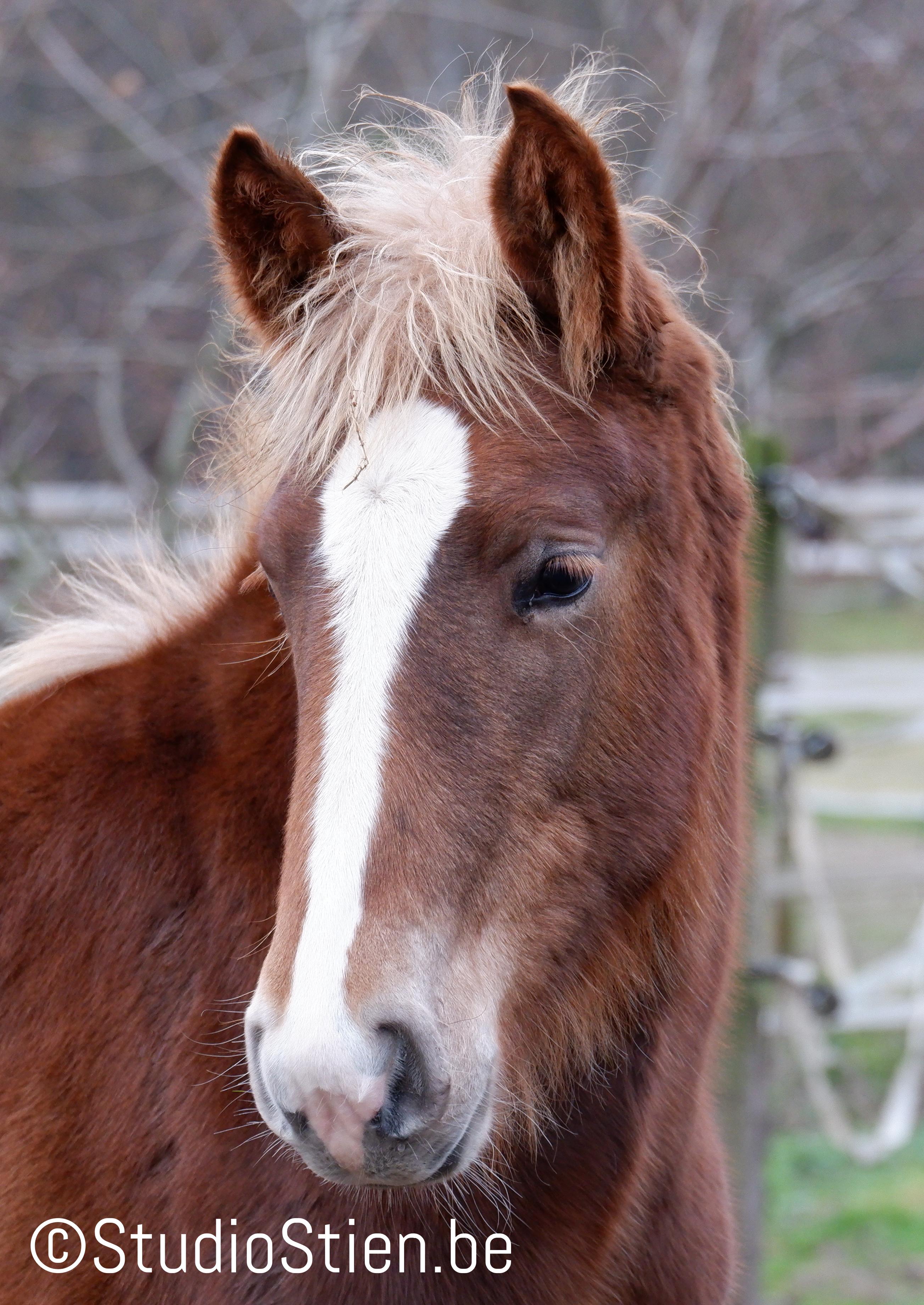 Veulen closeup paard jong voskleurig Horse foal