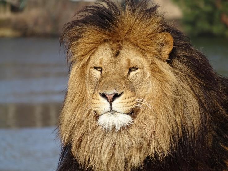 Dierenfotografie Leeuw wildlife dierentuin