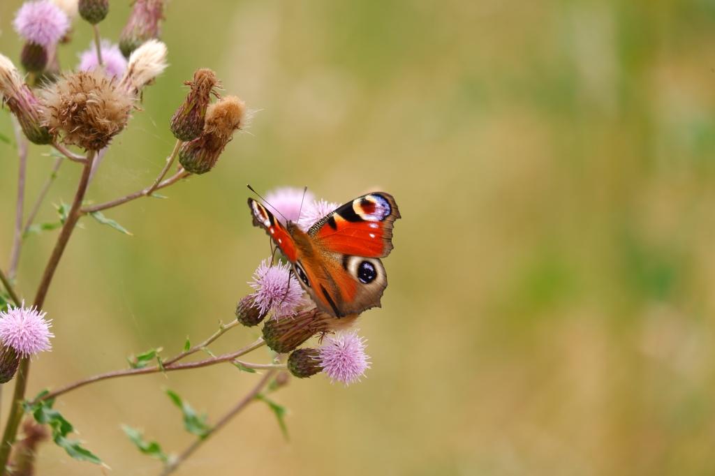 vlinder stockfoto butterfly dagpauwoog natuurfotografie fotografie natuur insect