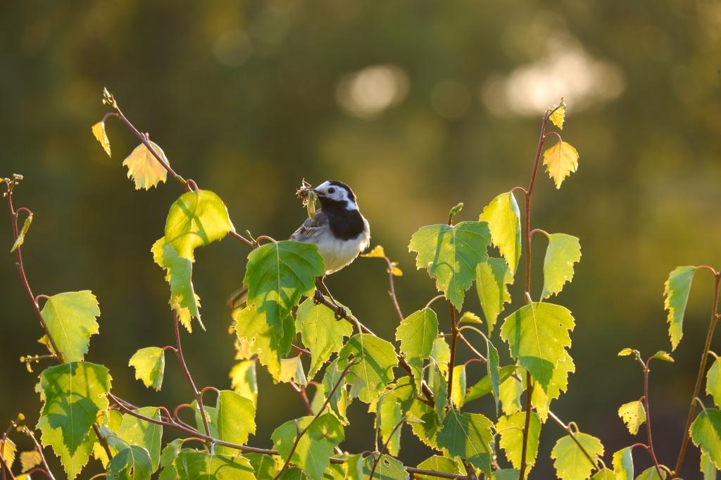 Kleine vogels fotograferen natuurfotografie vogelfotografie witte kwikstaart