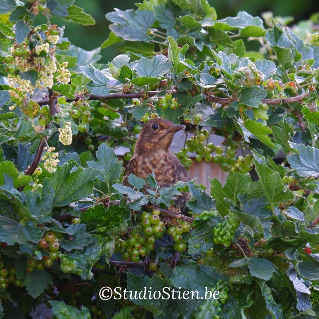 Kleine vogels fotograferen natuurfotografie vogelfotografie zanglijster