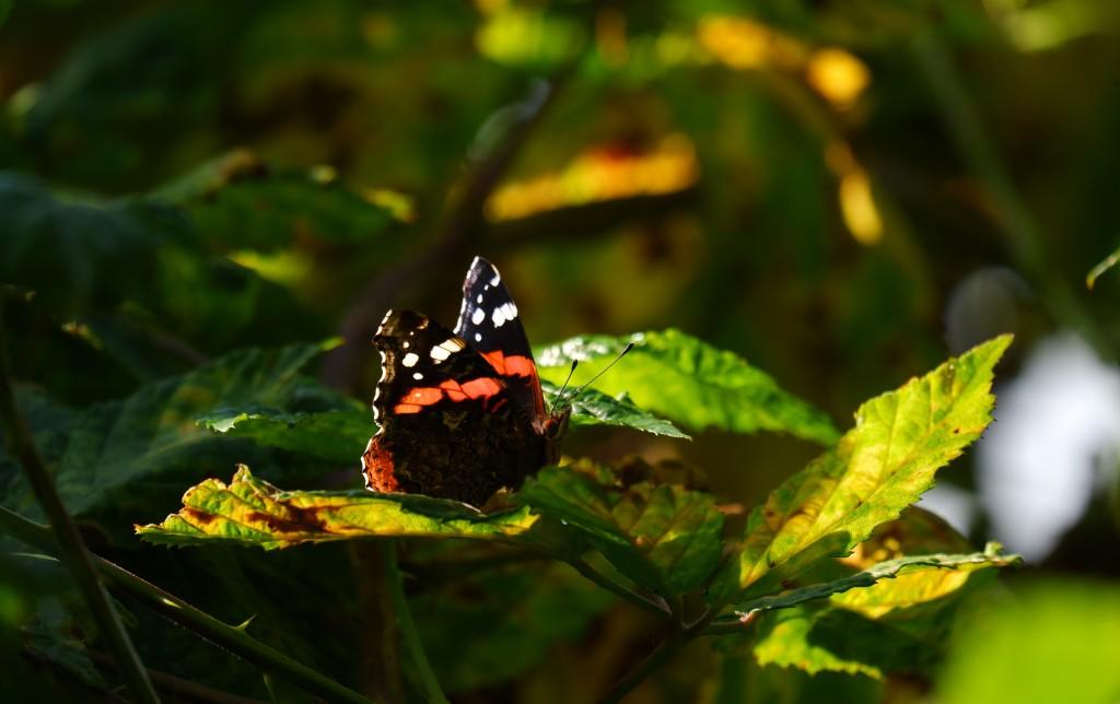 fotografie natuurfotografie vlinderfotografie fotografietips vlinders fotograferen atalanta