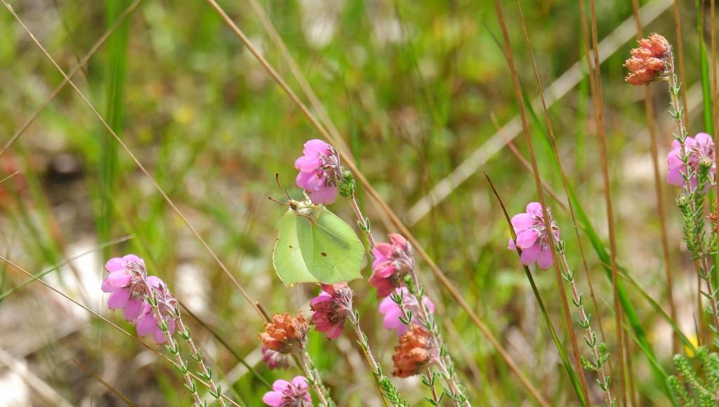 fotografie natuurfotografie vlinderfotografie fotografietips vlinders fotograferen citroenvlinder