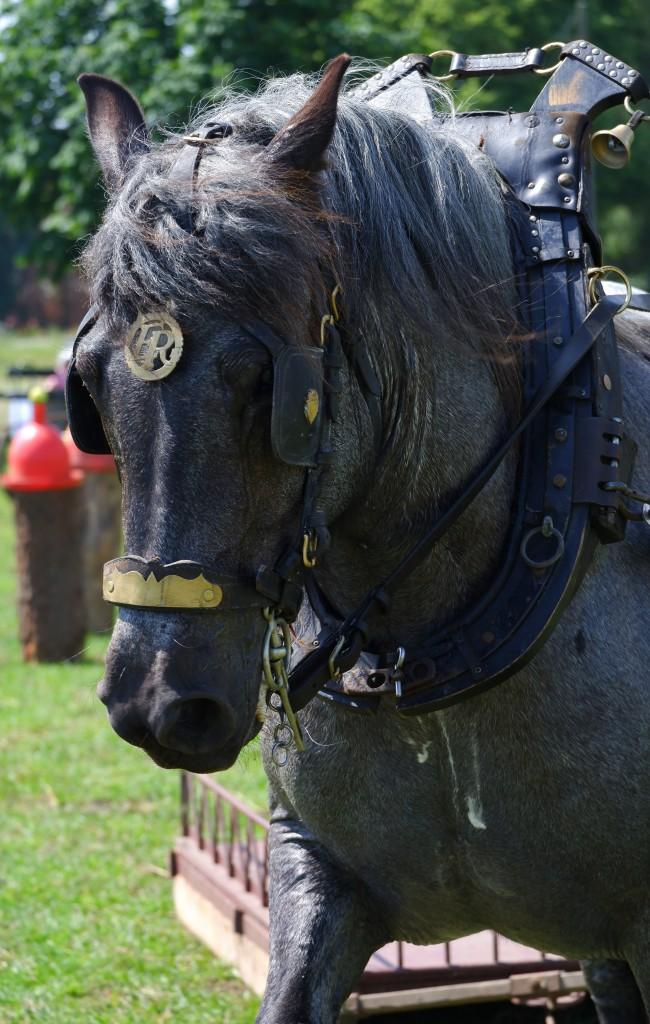 paardenfotografie dierenfotografie natuurfotografie fotografietips fotograferen paarden dieren trekpaard