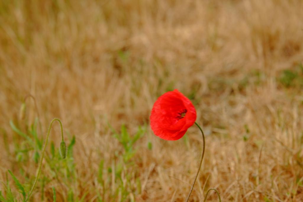 fotografietips fotograferen klaproos basisbegrippen fotografie natuurfotografie bloemen